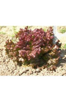 Салат листовой Анапчанин