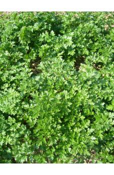 Петрушка листовая Бриз